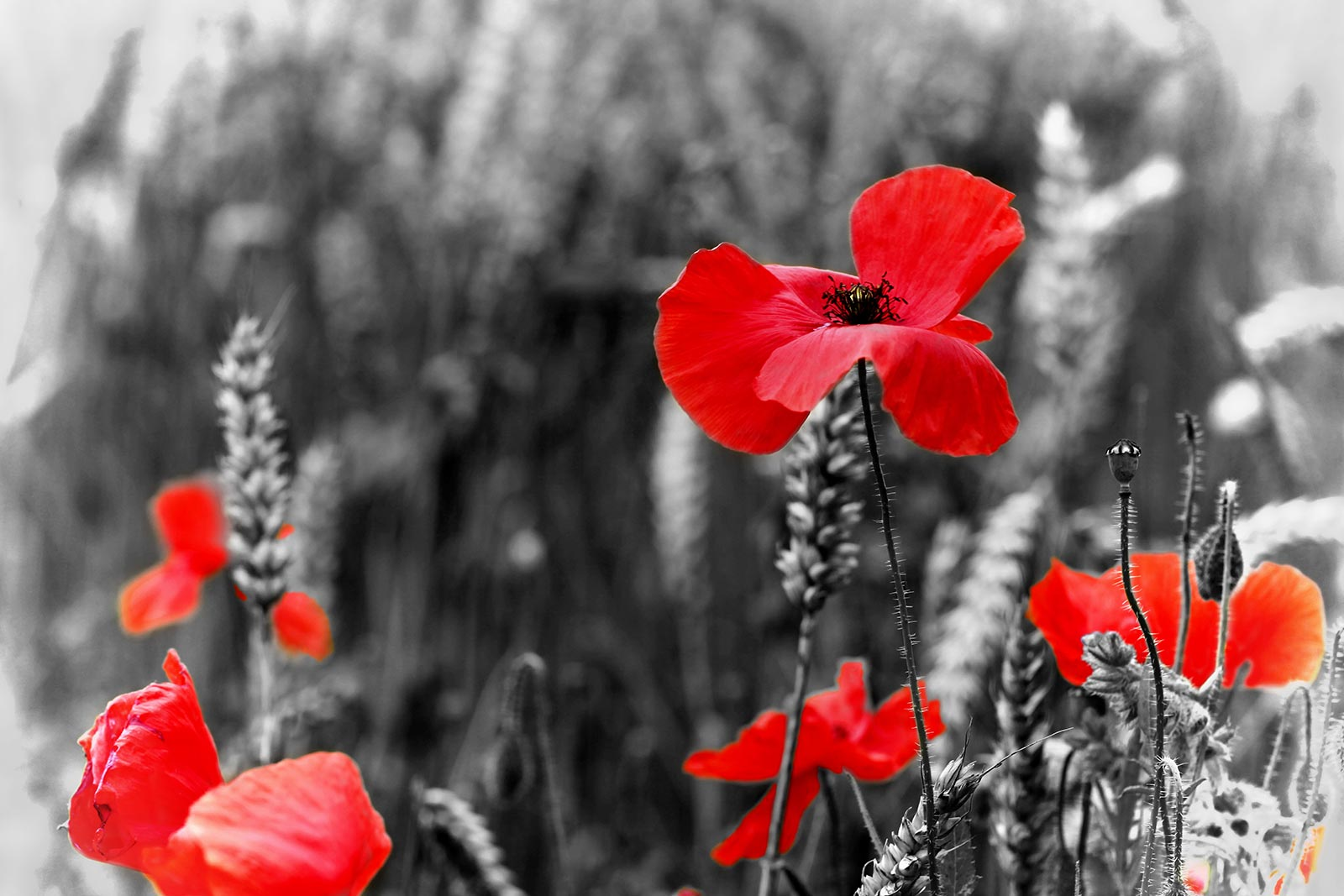 Image poppy-red-flower-symbol-war-remembrance